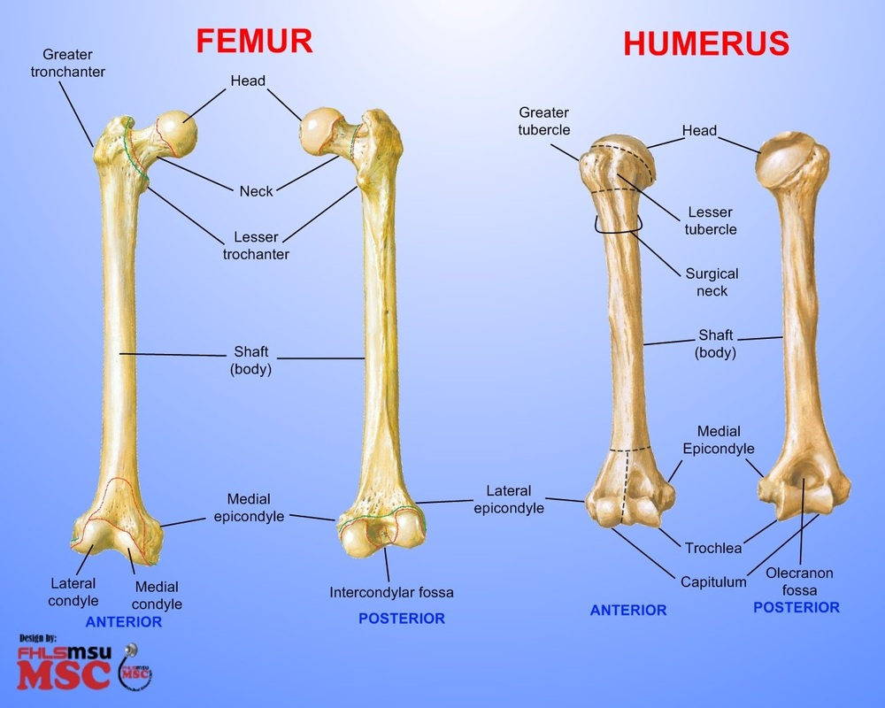 Humerous Clavicle Scapula Skeletal System The humerus is referred to as the bone of the arm and sometimes commonly referred to as the funny bone. skeletal system weebly